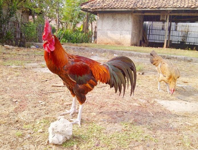 Arti Mimpi Ayam Masuk Rumah
